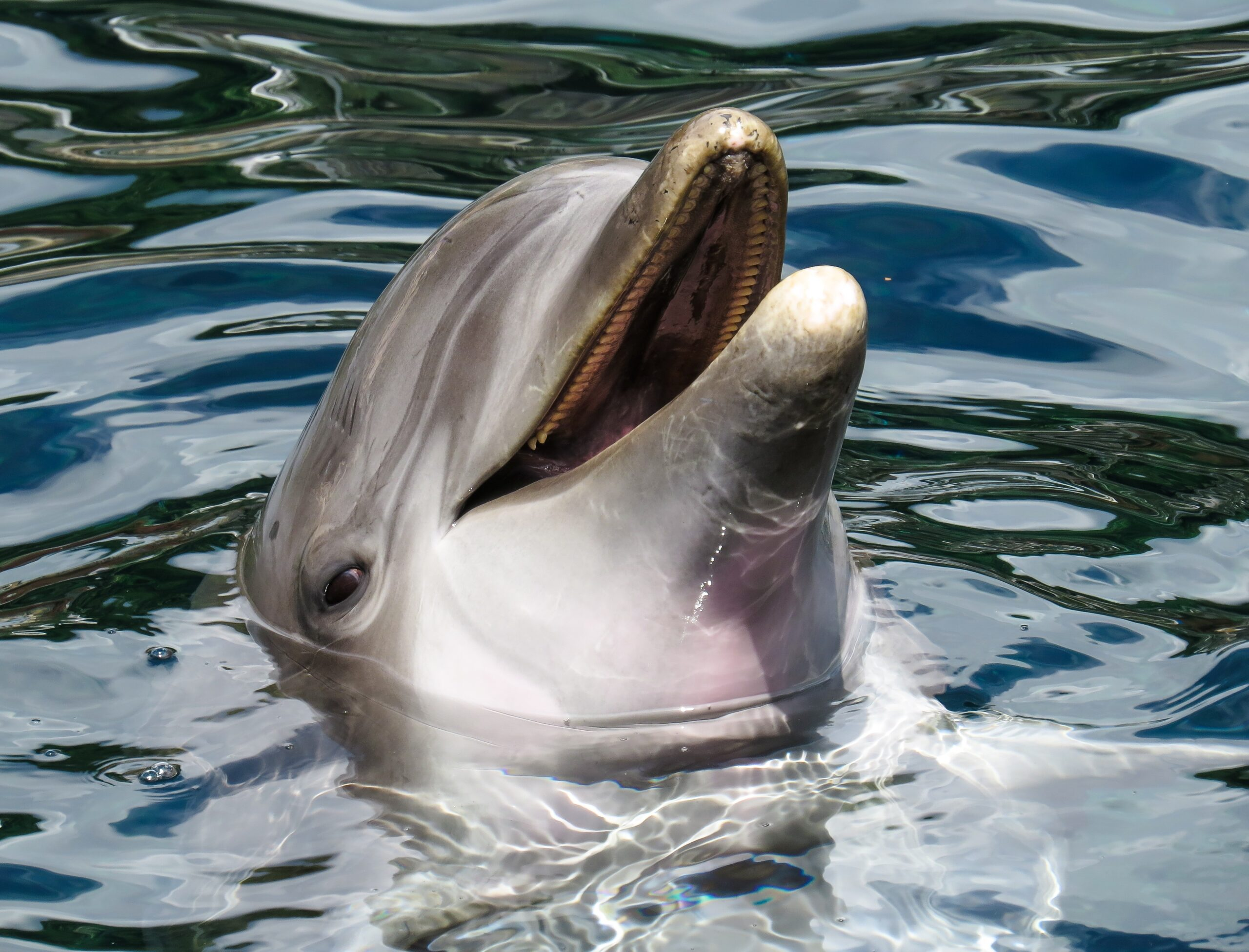 Dolphin s head in the surface